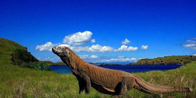 Ini Tanggapan JK Soal Rencana Penutupan Taman Nasional Komodo