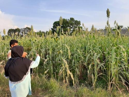 Petani, Pembuat Silase Sorgum Optimis dengan Serapan Pasar