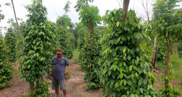Integrated Farming,Zero WasteTingkatkan Penghasilan Petani Lada