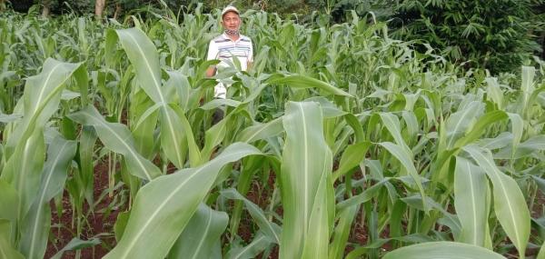 Harga Singkong Anjlok, Petani Lampung Utara Beralih ke Sorgum
