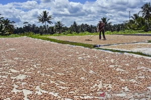 Ciamis-based Agribusiness Company to set target 1M Areca Nut Tree Plantations