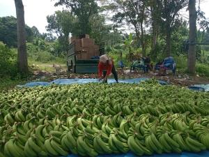 Perusahaan agribisnis berupaya mengalihkan petani untuk tanam pisang